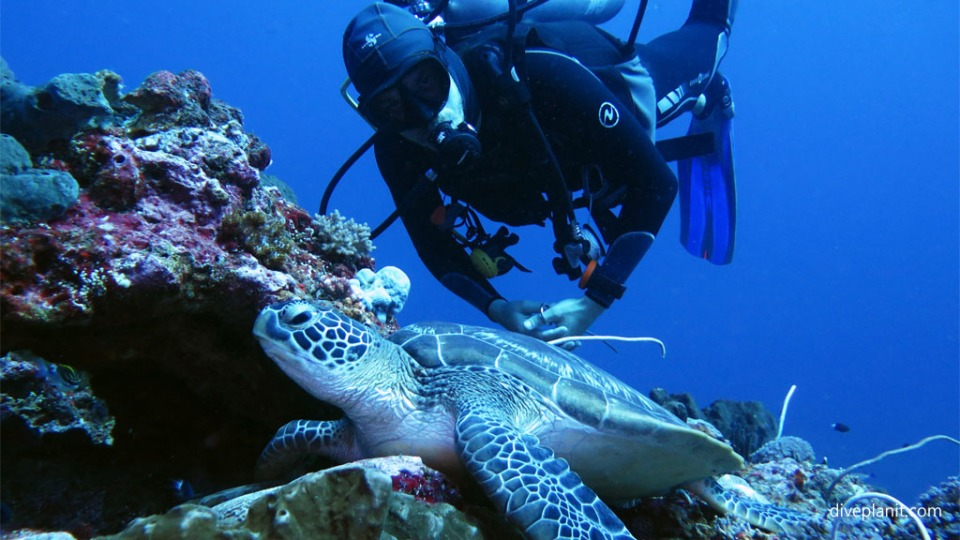 Diving with turtles Dive guide hovers over a turtle diving Gili Islands Lombok Indonesia Diveplanit 5360