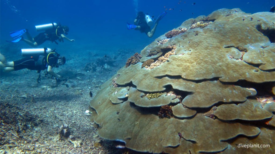 Diving with turtles Big coral stack with divers diving Shark Point at Gili Islands Lombok Indonesia Diveplanit