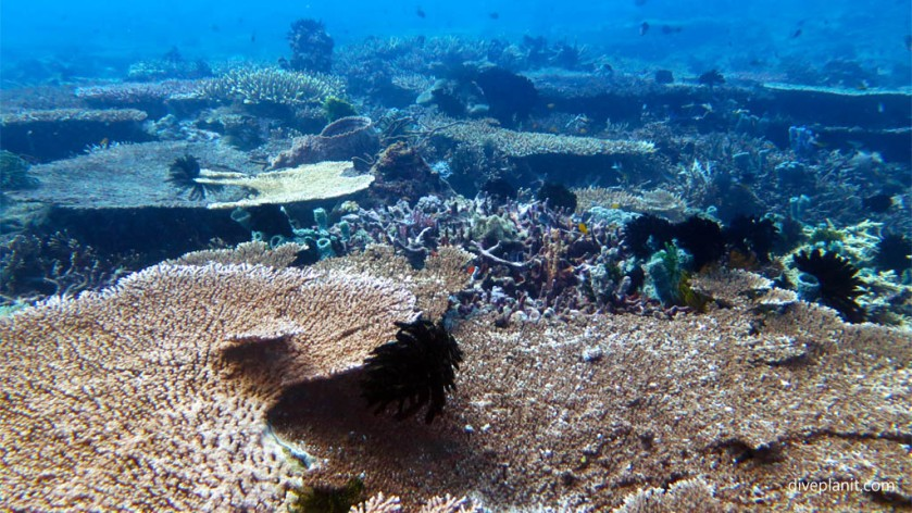 Diving with turtles Even more Acropora a plenty diving Secret Reef at Gili Islands Lombok Indonesia Diveplanit