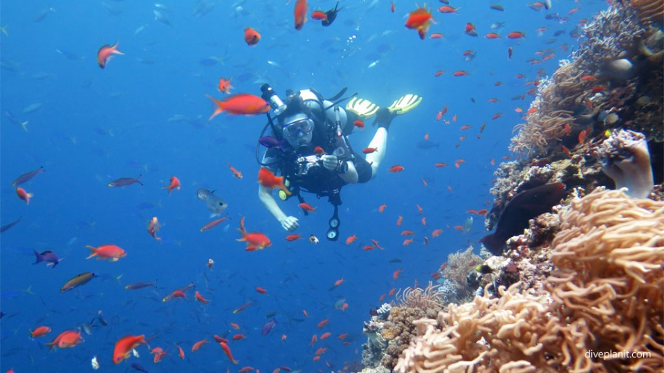 Fiji Friday Feature Diver in reef fish at Wheatfields diving Vatu I Ra with Volivoli Diveplanit 0648