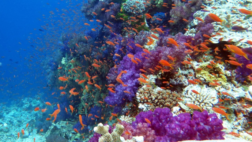 Fiji Friday Feature Reef scene in blue with orange anthias at Instant Replay diving Vatu I Ra with Volivoli Diveplanit 0956