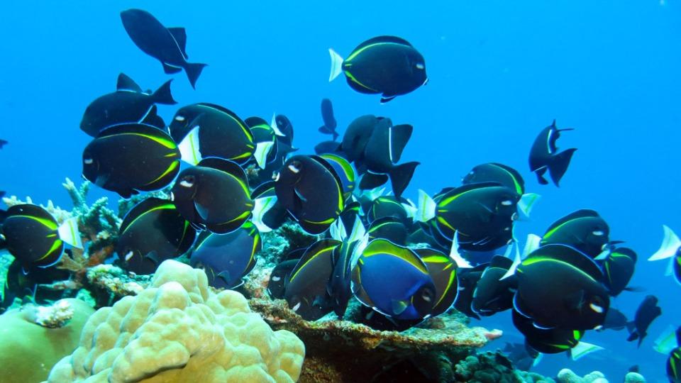 3124-Velvet-Surgeonfish-at-M$B-diving-Christmas-Island-3124-Photo-Credit-Diveplanit