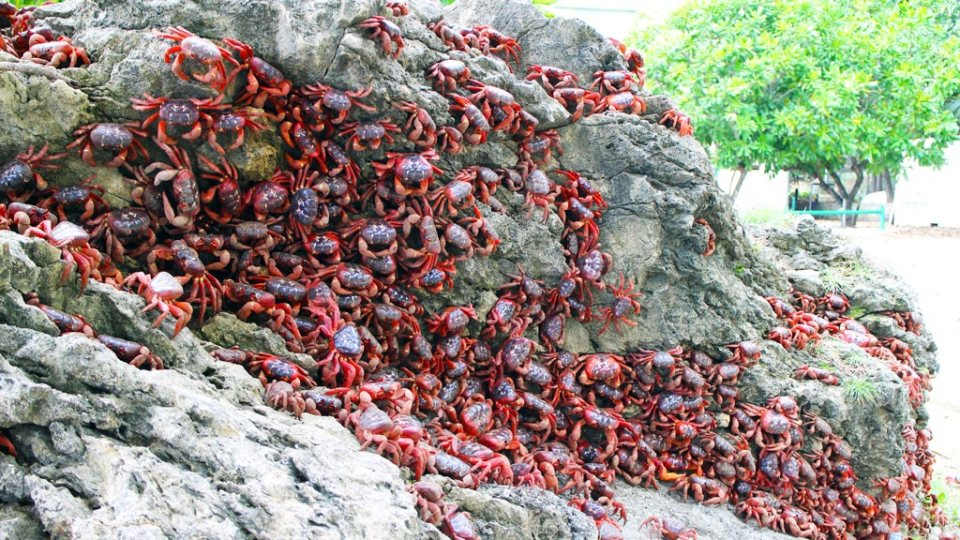 Christmas-Island-Red-Crab-Migration-Photo-Credit-Diveplanit