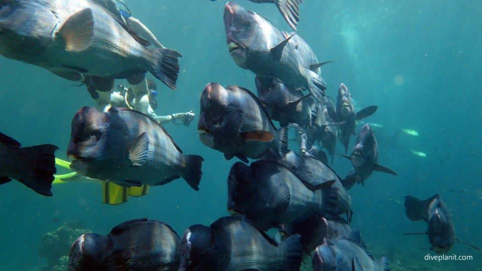Bumphead parrotfish coming thru at Turtle Patch diving Sipadan Malaysia by Diveplanit