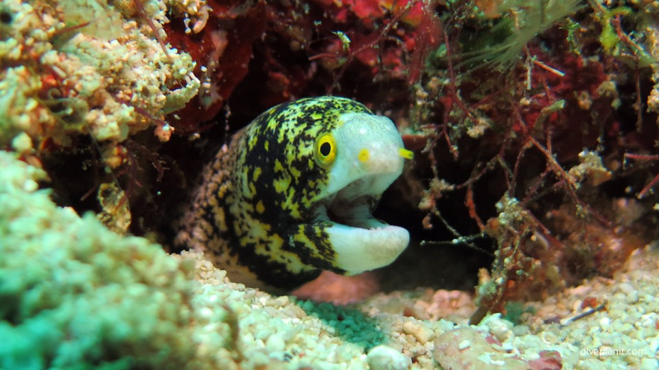 Snowflake eel speaks at Lobster Wall diving with Scuba Junkies Mabul by Diveplanit