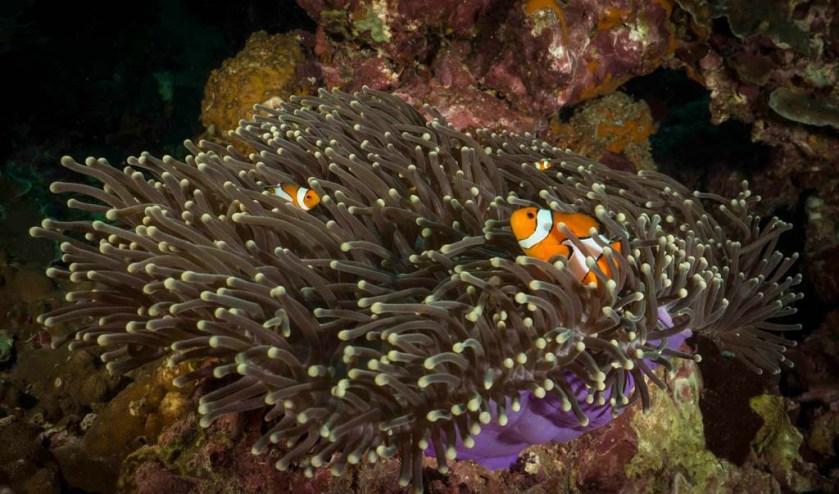 Koh Ha anemone_1_18