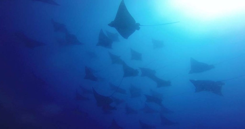 Wolf Rock eagle rays