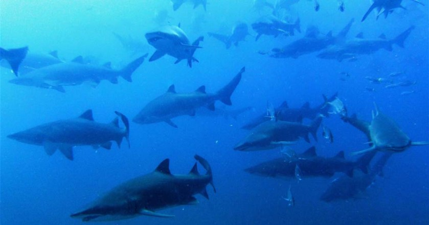Wolf Rock grey nurse sharks