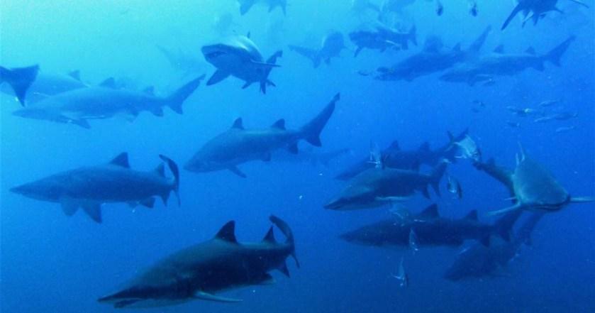 Wolf Rock grey nurse sharks